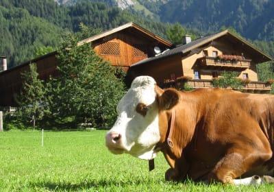 Kuh genießt die Natur