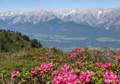 Almrosenblüte auf der Alm