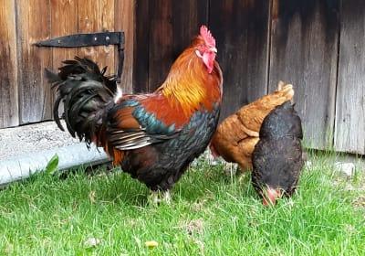Hahn und seine Hühner