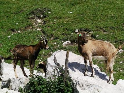 Tierischer Besuch - Ziegen vor der Kalserhütte