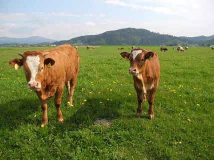Unsere Kühe am Feld