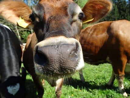 Unsere Kuh Frida