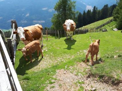 Kühe und Kälber