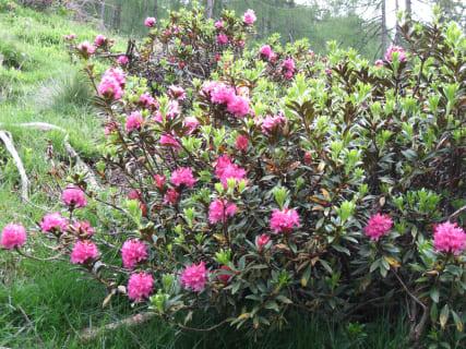 Almrauschblüte