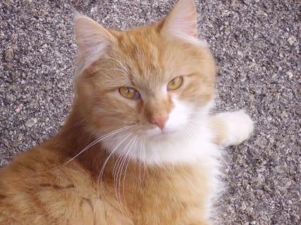 Katze Pumuckl