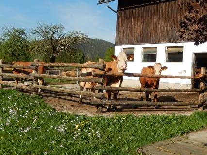 Lassingbauer - Kühe