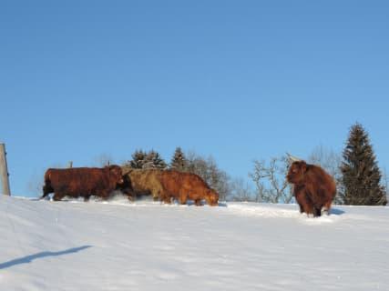 Unsere Hochlandrinder im Schnee