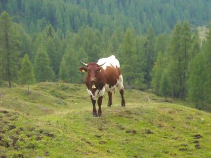 Auf da Alm da steht a Kuh