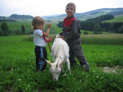 Ziegen ausfuehren am Biohof Schafflhof