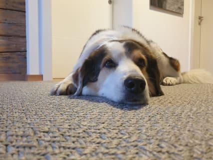 Hausbeschützerhund Felix