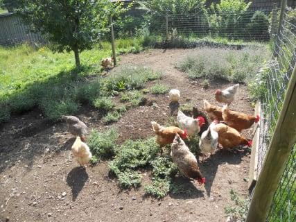 Unsere glücklichen Hühner