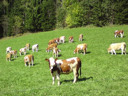 Young cattle at pasture