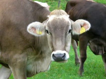 die Kuh Roserl