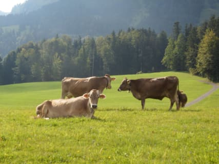 Our cows grazing ...