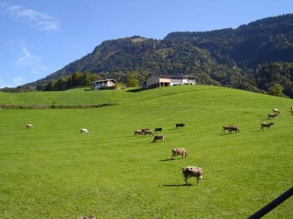 Kuhwiese im Sommer