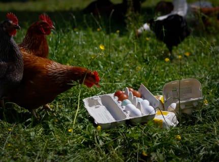 Bio-Eier (auch von alten Rassen)