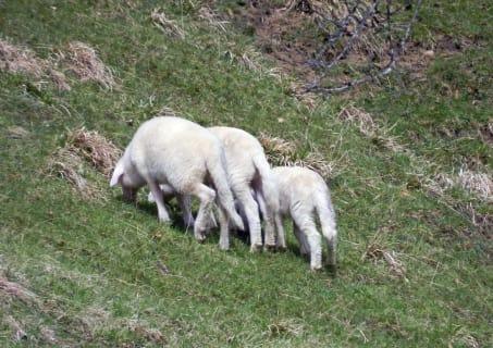 Ferienhof Schelchen - Schafe