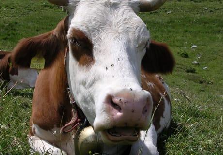 Kuh auf der Alm