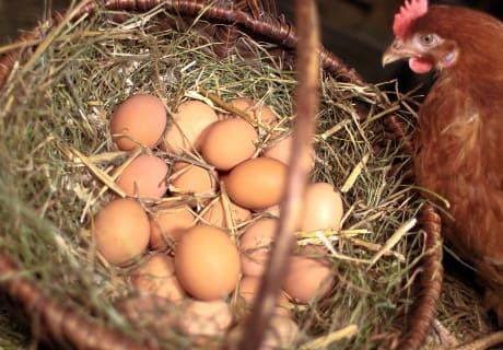 Henne mit ihren Eiern