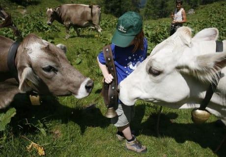 Kühe besuchen im Lesachtal