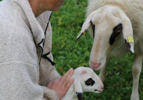 Nachwuchs-Schafe