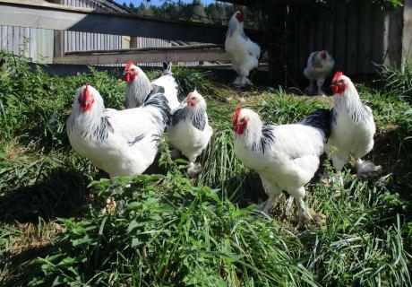 Sundheimerhühner