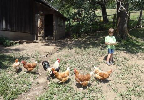 unsere Hennen mit Hahn