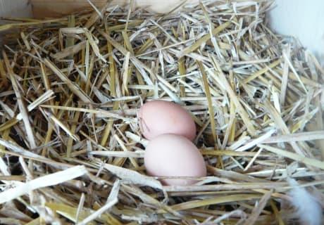 frische Eier selber holen