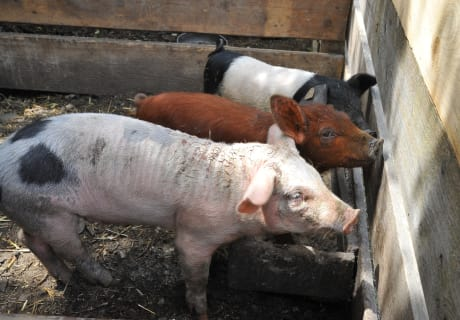 Schweine Tick Trick & Track