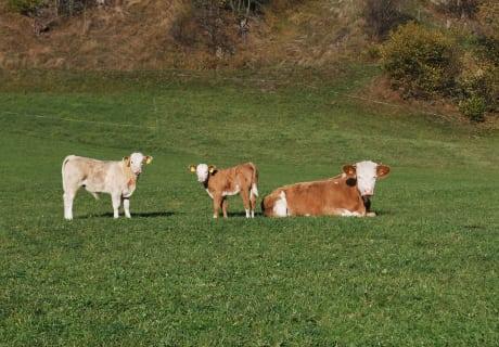 Unsere Kühe sind wieder zurück von der Alm