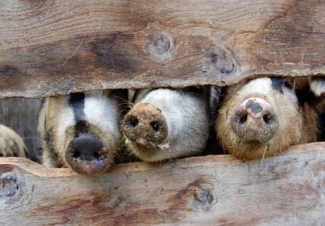Schweinenasen lugen hervor