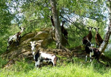 Ziegen im Birkenwäldchen