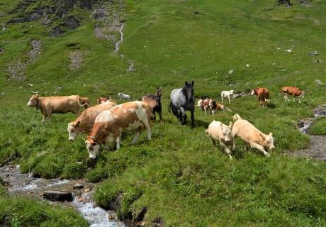 Rinder und Pferde auf der Hochalm