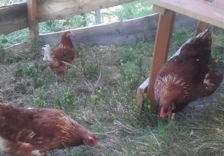 Henriette,Frieda und Resi im Auslaufstall