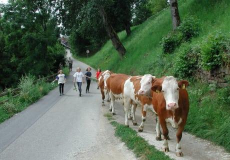 Die Kühe werden von der Weide nach Hause gebracht