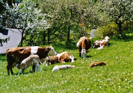 Unsere Kühe mit Kälbchen
