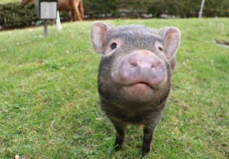 Minischwein Elvis