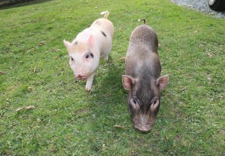 Microschweine
