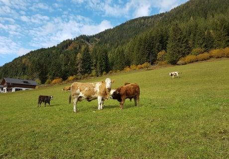 Kühe mit Kälbchen