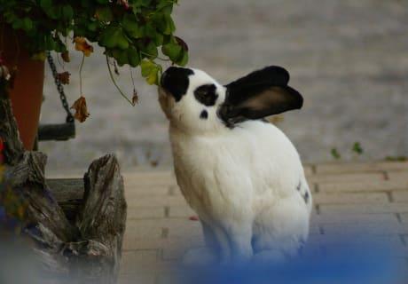 Der Hase knabbert am Hauseck gerne bei den Blumen