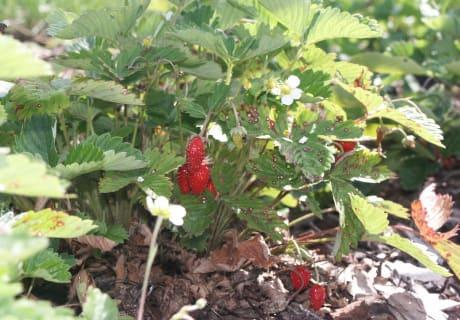 Erdbeeren - klein