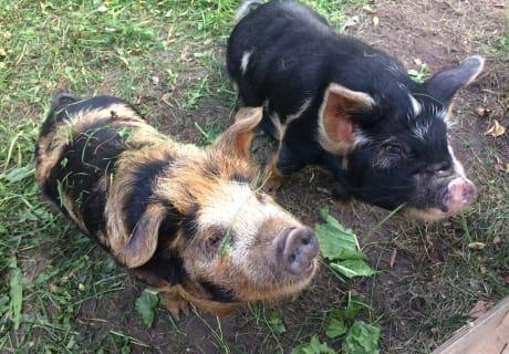 """Kune Kune Schweine """"Sissy und Franzl"""""""