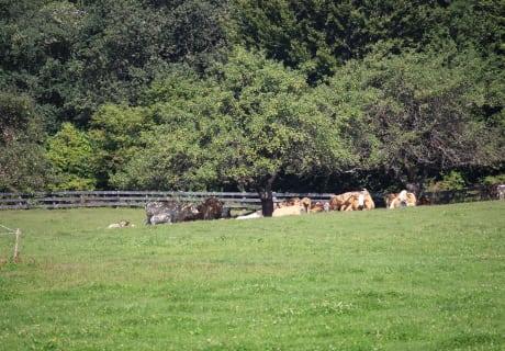 Die Kühe beobachten die Golfer