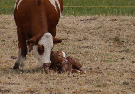 Glückliche Mama-Kuh mit ihrem Kälbchen