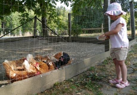 Hühner füttern macht Spaß