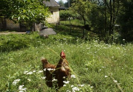 Unsere Hennen
