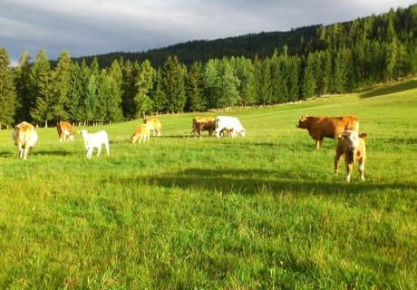 Unser Rinderherde