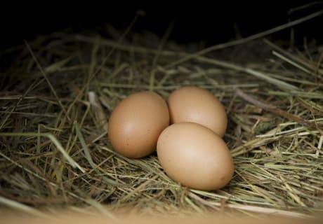 Eier vom Hühnernest