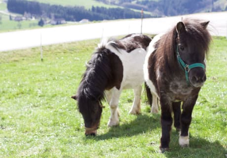 Unsere Shetys