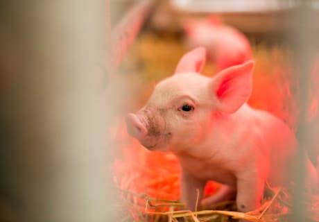 Böhm - Schwein